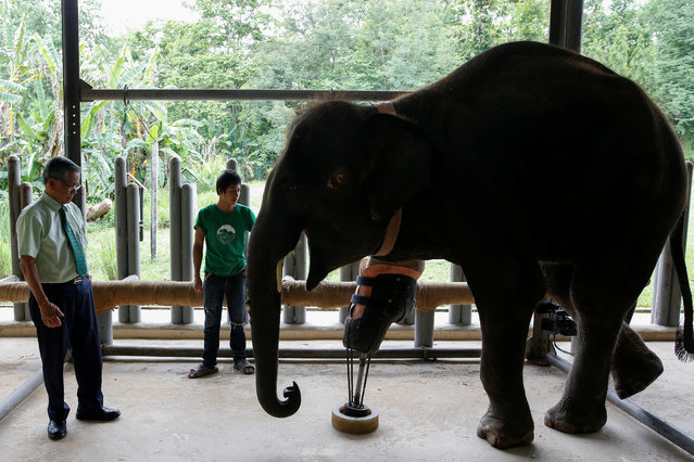 Doctor Therdchai Jivacate (L) stands in front of Mosha, the elephant that was injured by a landmine, at the Friends of the Asian Elephant Foundation in Lampang, Thailand, June 29, 2016. (Photo by Athit Perawongmetha/Reuters)
