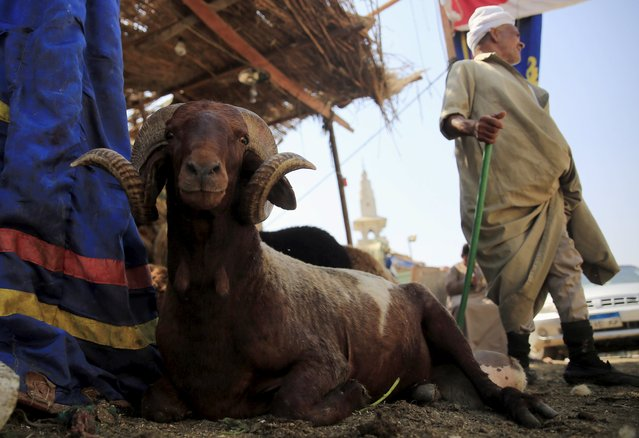 """A ram is seen in front of a livestock vendor at an old cattle market named """"Al Emam Market"""" ahead of the Muslim sacrificial festival Eid al-Adha in Cairo, Egypt, September 19, 2015. (Photo by Amr Abdallah Dalsh/Reuters)"""