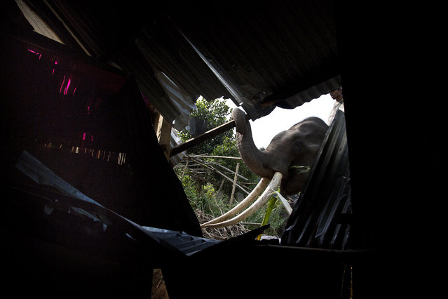 An elephant is used to demolish a house during an eviction drive inside Amchang Wildlife Sanctuary on the outskirts of Gauhati, Assam, India, Monday, November 27, 2017. (Photo by Anupam Nath/AP Photo)