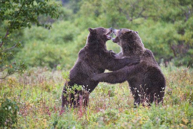 Bears. Kuril lake, Kamchatka, Russia