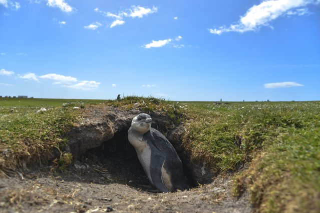 A young Magellanic penguin sits at the mouth of its burrow on Friday, February 12, 2016, on Volunteer Point, Falkland Islands. This type of penguin visits the Falklands only in the summer, breeding in burrows dug  into soft soil or peat usually on slopes facing the sea. (Photo by Jahi Chikwendiu/The Washington Post)