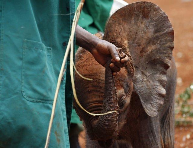 A keeper holds an orphaned baby elephant by its trunk at the David Sheldrick Elephant Orphanage within the Nairobi National Park, near Kenya's capital Nairobi October 15, 2014. (Photo by Goran Tomasevic/Reuters)