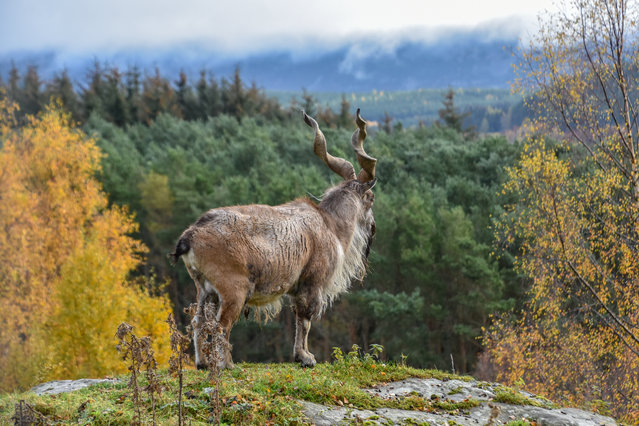 Highly commended, Life in a BIAZA Collection: Markhor overlooking his enclosure, by Alyson Houston at RZSS Highland Wildlife Park. Species: Markhor. (Photo by Alyson Houston/BIAZA 2020 Photography Competition)
