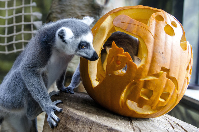 A lemur plays with pumpkin at the zoo, in Dvur Kralove nad Labem, 146 kilometers east of Prague, Czech Republic, Thursday, October 23, 2014. The zoo is decorated with the many pumpkin lanterns and other decorations in preparation for Halloween. (Photo by David Tanecek/AP Photo/CTK)