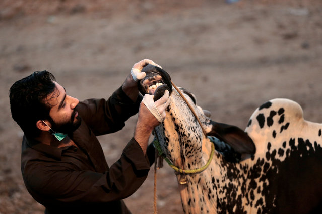A customer checks the teeth of a bull  for sale ahead of the Eid al-Adha festival at the animal market outside Islamabad, Pakistan September 9,  2016. (Photo by Caren Firouz/Reuters)
