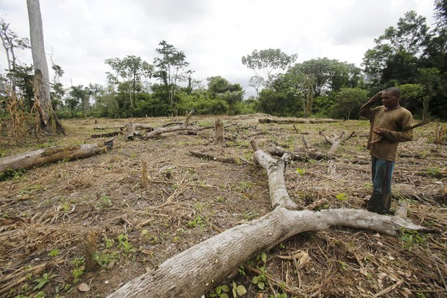 A farmer stands among dead and destroyed trees in the protected Gouin-Debe forest in Blolequin department, western Ivory Coast August 17, 2015. (Photo by Luc Gnago/Reuters)