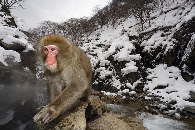 """Human Gaze"". Japanese macaques, commonly known as snow monkeys, are found in the wild only in Japan. They are also known as the snow monkey because they live in areas where snow covers the ground for months each year. They have a very human-like, naked, red face, and expressive eyes. Photo location: Jigokudani, Japan. (Photo and caption by Cristobal Serrano/National Geographic Photo Contest)"