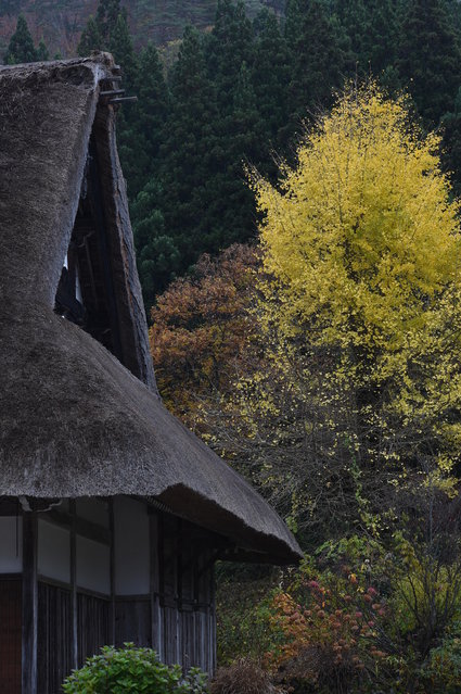 The traditional farm houses and coloured leaves at Shirakawa-go, the UNESCO World Heritage site on November 9, 2014 in Shirakawa, Japan. (Photo by Kaz Photography/Getty Images)