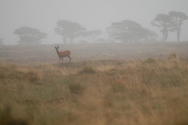 D) Member Winner – Becky Cartwright. Roe Buck in the Fog – This photograph will always remind me of one of my most intimate moments with a beautiful British Mammal. I was staying at Malham Tarn Field Centre and one morning before breakfast set out for a peaceful walk to Tarn Moss, a raised bog habitat noted for it's special assemblage of flora and fauna. This Roe Buck, emerged from the early morning mist and we shared a few moments observing one another before the deer leaped away across the Moss. It was worth getting up early to see this usually shy and beautiful animal in these surroundings.
