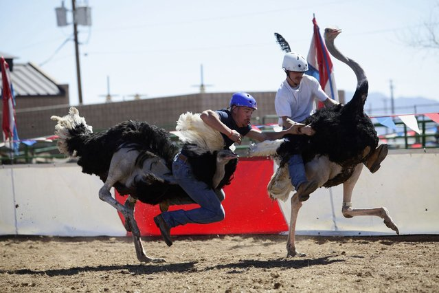 Dustin Murley falls off his ostrich as Jessey Sisson looks on during the ostrich race at the annual Ostrich Festival in Chandler, Arizona March 10, 2013. (Photo by Joshua Lott/Reuters)