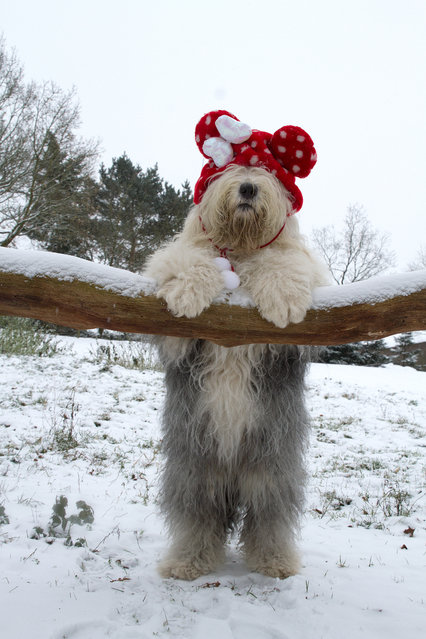 """""""Christmas bear"""". (Photo by Cees)"""