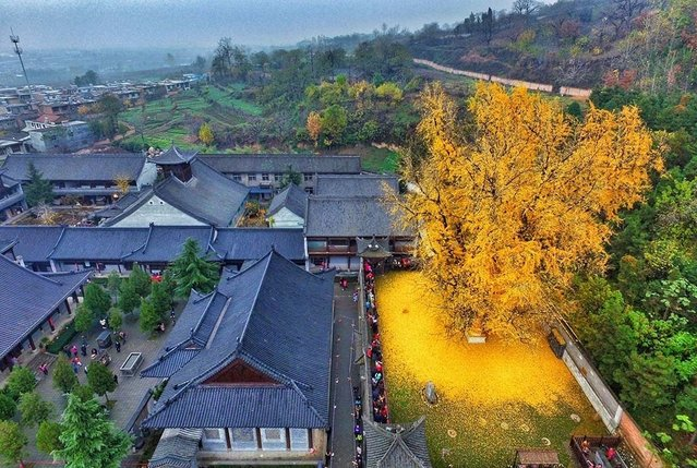 The Ancient Ginkgo Tree Makes Golden Сarpet Оf Leaves Every Autumn
