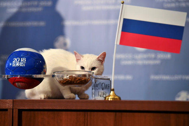 Achilles the cat, one of the State Hermitage Museum mice hunters, attempts to predict the result of the opening match of the 2018 FIFA World Cup between Russia and Saudi Arabia during an event in Saint Petersburg, Russia June 13, 2018. (Photo by Dylan Martinez/Reuters)