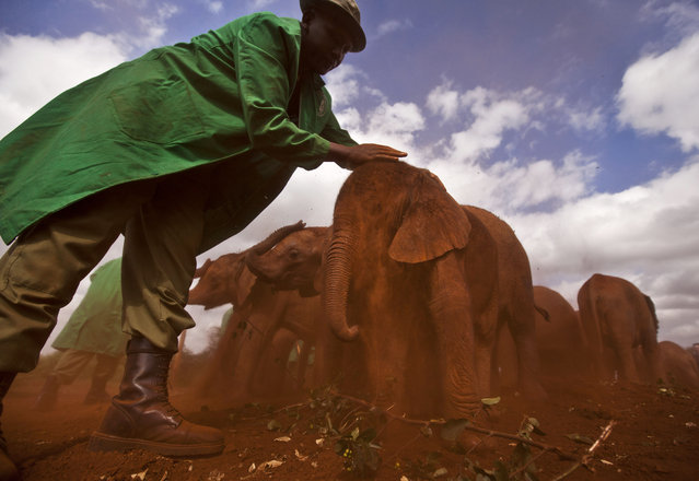 Two-month-old orphaned baby elephant Ajabu is given a dust-bath in the red earth after being fed milk from a bottle by a keeper, as she is too young to do it herself, at an event to mark World Environment Day at the David Sheldrick Wildlife Trust Elephant Orphanage in Nairobi, Kenya, Wednesday, June 5, 2013. (Photo by Ben Curtis/AP Photo)