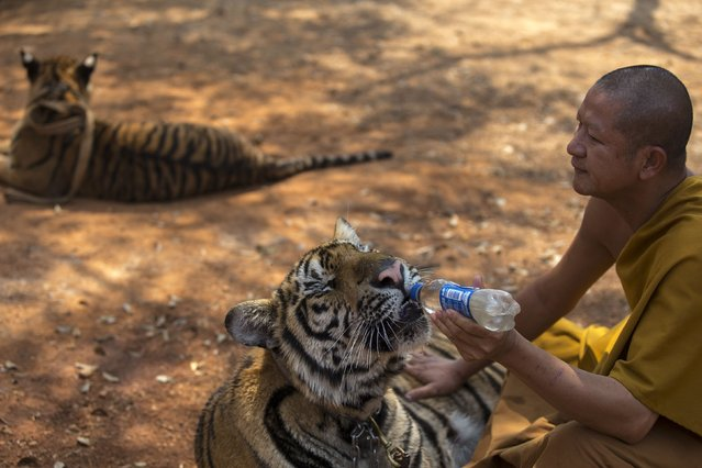 A Buddhist monk feeds a tiger with water from a bottle at the Wat Pa Luang Ta Bua, otherwise known as the Tiger Temple, in Kanchanaburi province February 12, 2015. (Photo by Athit Perawongmetha/Reuters)