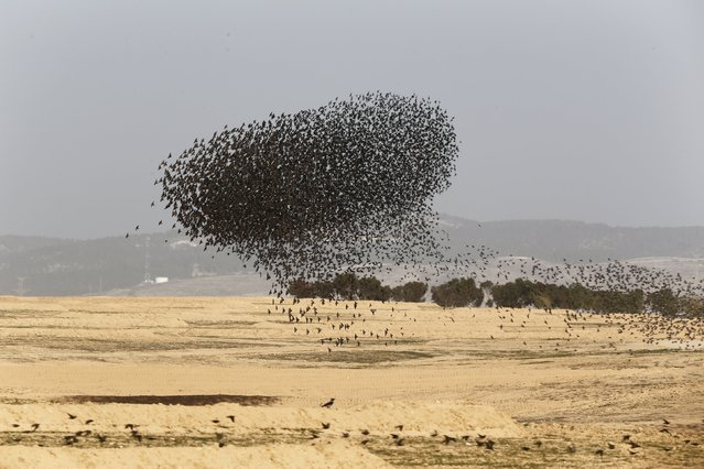 A murmuration of migrating starlings is seen across the sky over the city of Beer Sheva at southern Israel December 28, 2015. (Photo by Amir Cohen/Reuters)