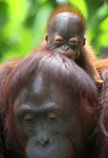 One month-old endangered Bornean Orang Utan clings on to his mother named Miri on Wednesday March 6, 2013 in Singapore. The Singapore Zoo is renowned for its flagship animal, the Orang Utan, and exhibits both the endangered Bornean and critically endangered Sumatran sub-species in a social setting. It is also known for its efforts in promoting and educating the public about the importance of wildlife conservation through its educational programs and breeding of these endangered species. (Photo by Wong Maye-E/AP Photo)