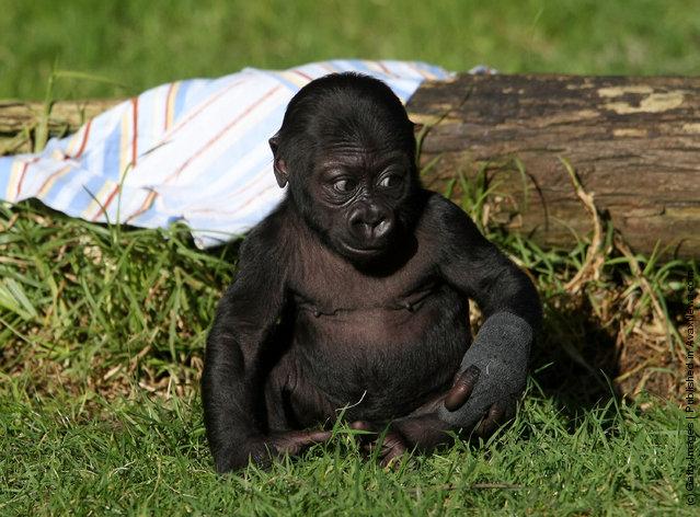 Gorilla Hasani In A Zoo Of San Francisco