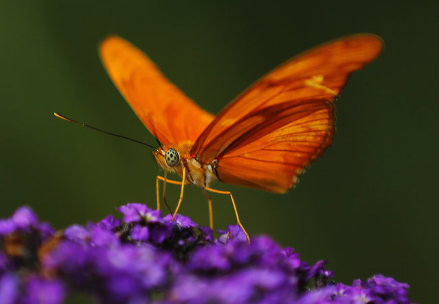 An Orange Julia butterfly lands on a flower as it and hundreds of other butterflies from around the world fill the bird aviary for the next month at the San Diego Zoo Safari Park in San Diego, California March 13, 2015. (Photo by Mike Blake/Reuters)
