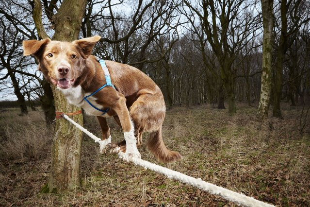 Ozzy a Border Collie/Kelpie crossbreed from Norwich in England, who has made it into the Guinness Book of World Records for the fastest crossing of a tightrope by a dog. (Photo by PA Wire)