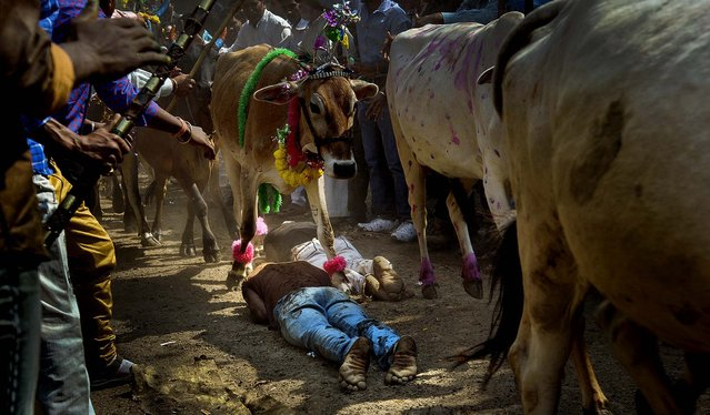 Hindu devotees lie on the ground in front of running cows as part of a ritual during the Govardhan Puja festival in Dhar, India, on November 4, 2013. Hindus believe that Lord Krishna lifted Govardhan Mountain on this day to save the villagers from excessive rains. (Photo by Chetan Soni/Reuters)