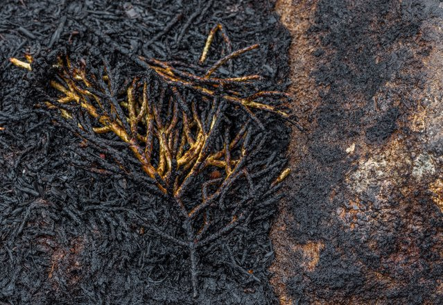 Another detail of a plant charred by the fires. (Photo by Dan Broun)