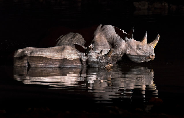 A Rhino mother and its calf go for a midnight swim. (Photo by Brendon Cremer/Caters News)