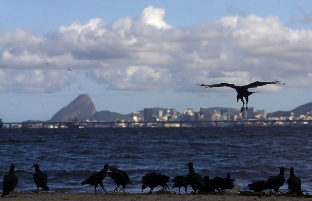 Vultures gather to eat the carcass of a dog (not pictured) at Bica beach, on the banks of the Guanabara Bay, with the Sugar Loaf mountain in background, 500 days ahead the Rio 2016 Olympic Games in Rio de Janeiro March 24, 2015. (Photo by Ricardo Moraes/Reuters)