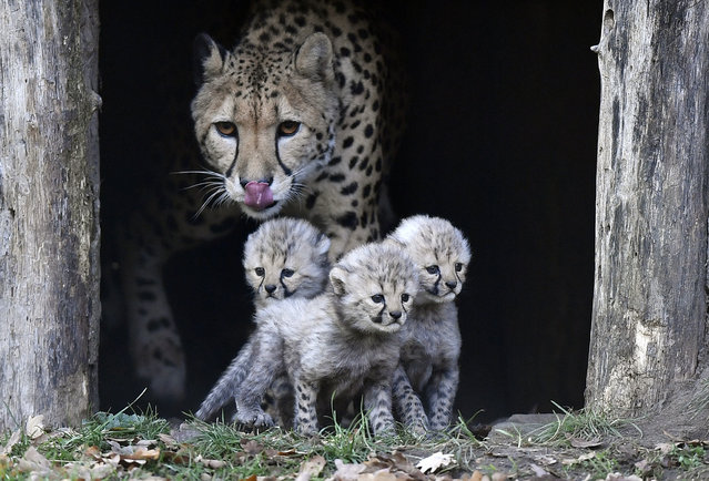 Cheetah mother Isantya looks at its three little babys at their enclosure at the zoo in Muenster, Germany, November 9, 2018. The triplets were born on October 4, 2018 and start to explore their enclosure today. The zoo in Muenster is well known for the successful cheetah breed, about 50 of the endangered animals were born in the zoo since the seventies. (Photo by Martin Meissner/AP Photo)