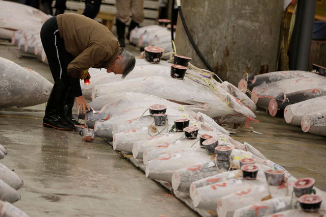 A prospective buyer inspects the quality of frozen tuna before the first auction of the year at Tsukiji fish market in Tokyo, early Thursday, January 5, 2017. (Photo by Eugene Hoshiko/AP Photo)