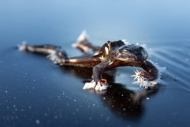 """""""Frozen Frog"""". After some days with temperatures below freezing point, I was out skating at some lakes at the outskirts of Oslo in Norway. After a while I noticed something on the ice. To my astonishment it was a dead frozen frog. Photo location: Bindingsvannet, Norway. (Photo and caption by Svein Nordrum/National Geographic Photo Contest)"""