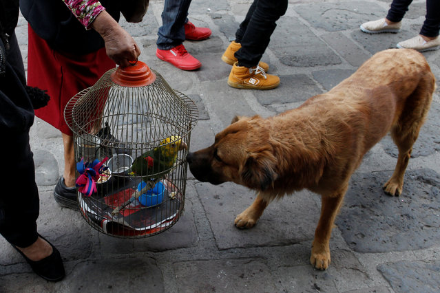 A dog looks at a parrot as it receives blessings from a priest on the day of Saint Anthony, the patron saint of domestic animals, in Xochimilco in Mexico City, Mexico January 17, 2017. (Photo by Carlos Jasso/Reuters)