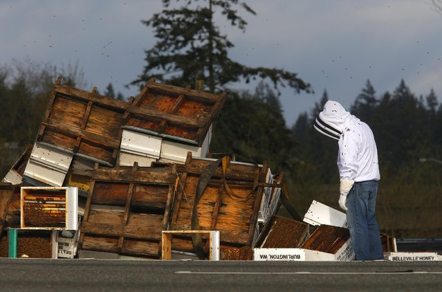 A beekeeper inspects the spilled remains of  beehives that spilled off of a semitruck along northbound Interstate 5 on Friday, April 17, 2015 north of Seattle. The truck had just merged onto Interstate 5 around 3:30 a.m. Friday when it tipped on its side, dumping its load of 448 hives.  The driver was not hurt, but the bees became more active as the sun rose and the weather warmed.   (Photo by Mark Mulligan /The Herald via AP Photo)