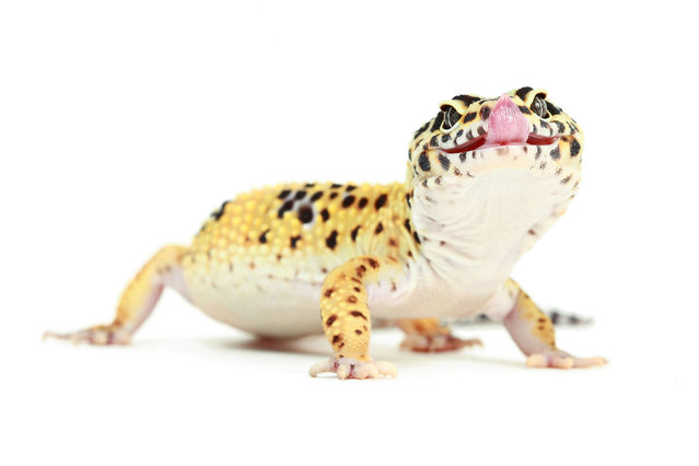 Leopard Gecko (Eublepharis Macularius). (Photo by Mickael Leger/Caters News)