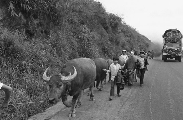 Peasant boys herd their slow moving water buffalo along the side of a busy highway, as a track jammed with other refugees and their belongings heads South through the Hai Van Pass, South Vietnam on March 21, 1975. The refugee flood came from the Northern city of Hue, abandoned by the Saigon regime. (Photo by AP Photo)