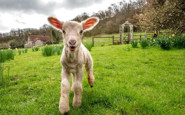 A day-old lamb exploring new surroundings on the vernal equinox, considered the first day of spring, on March 20, 2019 at Coombes Farm in Lancing, England. (Photo by Andrew Hasson/Getty Images)