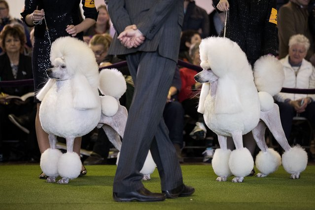 Standard Poodles are judged during competition at the 141st Westminster Kennel Club Dog Show, February 13, 2017 in New York City. There are 2874 dogs entered in this show with a total entry of 2908 in 200 different breeds or varieties, including 23 obedience entries. (Photo by Drew Angerer/Getty Images)