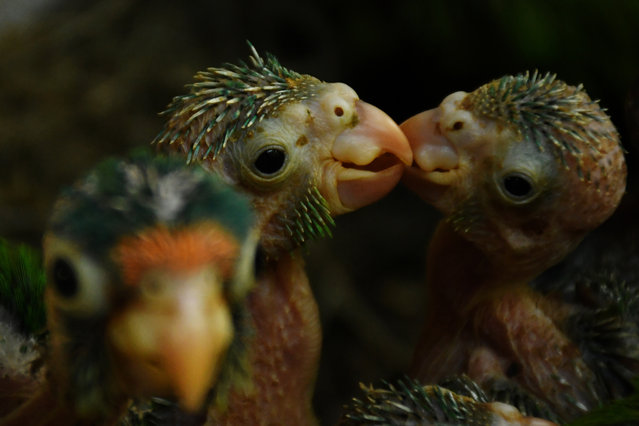 """Orange parrot (Eupsittula canicularis) and catalnica (Brotogeris jugularis) chicks are pictured at """"El Tronador"""" Wildlife Rescue Center in Berlin, 107 kilometres southwest of San Salvador on February 20, 2017. Undangered species victims of trafficking, are rescued and rehabilitated at a shelter supported by a Salvadorean geothermic energy company, with the aim of releasing them into the wild and contribute to the conservation of native species. (Photo by Marvin Recinos/AFP Photo)"""