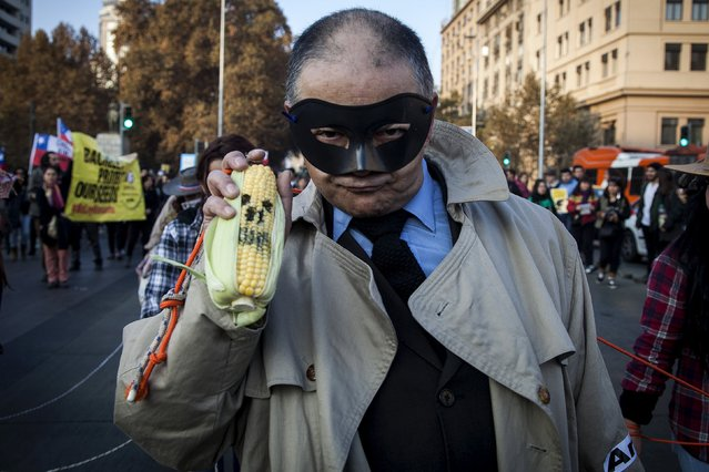 A demonstrator wearing a mask holds up a painted corn during a protest march against Monsanto Co, the world's largest seed company, in Santiago city, May 23, 2015. Similar demonstrations took part on Saturday around the world to raise awareness to what the activists claim are dangers surrounding Monsanto's glyphosate-containing herbicide Roundup. (Photo by Rayen Luna/Reuters)