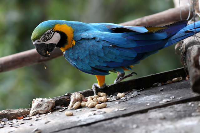 A macaw eats peanut, near a chicken head at Vittorio Poggi's house outside Caracas, Venezuela, June 18, 2019. (Photo by Manaure Quintero/Reuters)