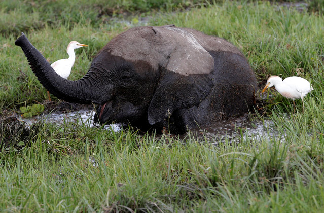 A baby elephant eats in a swamp in Amboseli national park, Kenya, March 19, 2017. (Photo by Goran Tomasevic/Reuters)