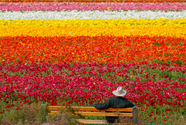 A visitor looks at the Flower Fields at Carlsbad Ranch as he enjoys nearly 50 acres of blooming giant Tecolote ranunculus flowers in Carlsbad, California, U.S., March 21, 2019. (Photo by Mike Blake/Reuters)