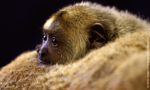 A Baby Black Howler Monkey