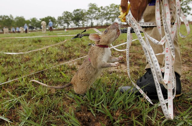 A rat undergoing training to detect mines eats a snack during a training session on an inactive landmine field in Siem Reap province July 9, 2015. (Photo by Samrang Pring/Reuters)