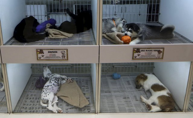 Puppies of different breeds rest inside cages at a pet shop in Lima, July 24, 2015. (Photo by Mariana Bazo/Reuters)