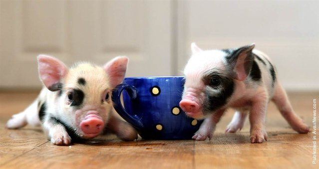 Tiny pigs the size of teacups, as this photo demonstrates, are the latest pet craze sweeping Great Britain. These little piggies are named Simon and Cheryl