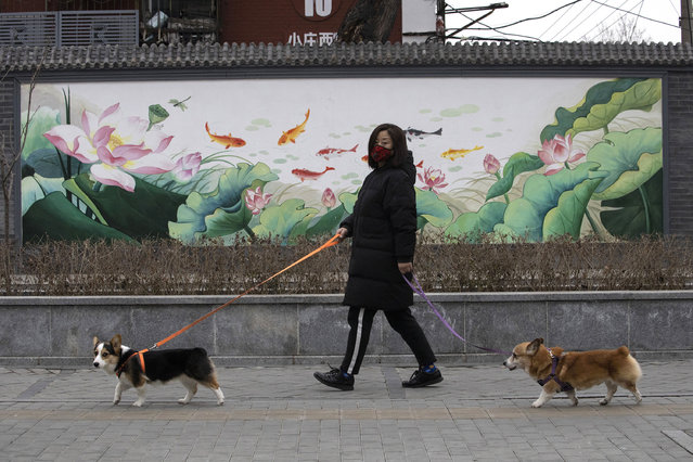 In this February 25, 2020, file photo, a resident wearing mask walks her dogs in Beijing. Pet cats and dogs cannot pass the new coronavirus on to humans, but they can test positive for low levels of the pathogen if they catch it from their owners. That's the conclusion of Hong Kong's Agriculture, Fisheries and Conservation Department after a dog in quarantine tested weak positive for the virus Feb. 27, Feb. 28 and March 2, using the canine's nasal and oral cavity samples. (Photo by Ng Han Guan/AP Photo/File)
