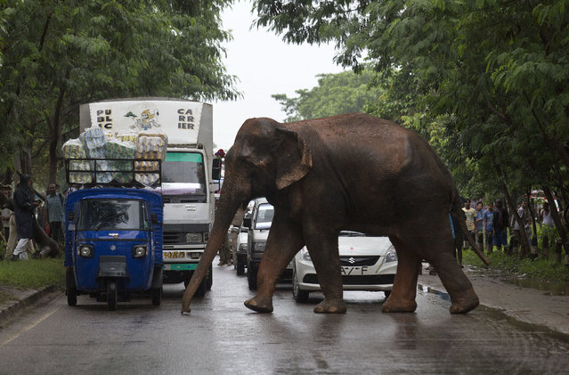 Commuters stop their vehicles and watch a wild male elephant, who got separated from his herd, cross a highway on the outskirts of Gauhati, India, Thursday, August 20, 2015. (Photo by Anupam Nath/AP Photo)