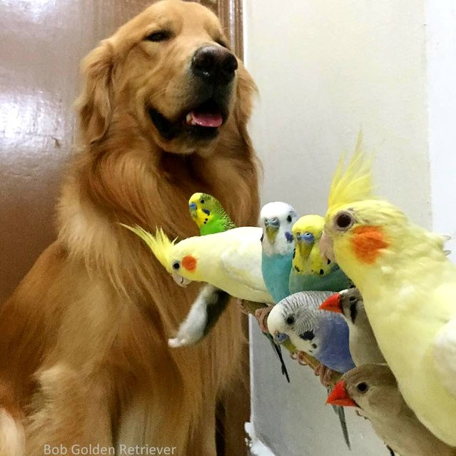 Bob The Golden Retriever And His friends