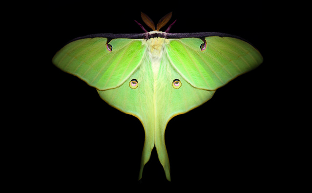 "The luna moth is one of the largest moths in North America, with wingspans often reaching almost 5 inches. Like most moth species, it's most active at night. The lime-green luna moth has prominent markings on its wings that greatly resemble eyes. Researchers suspect those ""eyes"" are meant to distract would-be predators from the moth's small, fragile body. (Photo by Traer Scott/Chronicle Books)"